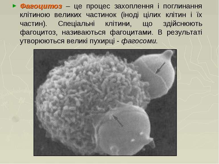 Фагоцитоз – це процес захоплення і поглинання клітиною великих частинок (інод...