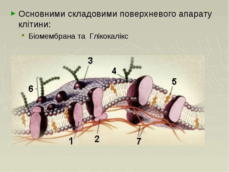 Основними складовими поверхневого апарату клітини: Біомембрана та Глікокалікс