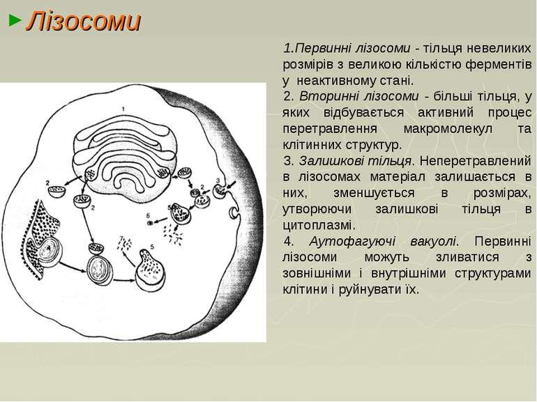 Лізосоми Первинні лізосоми ‑ тільця невеликих розмірів з великою кількістю фе...