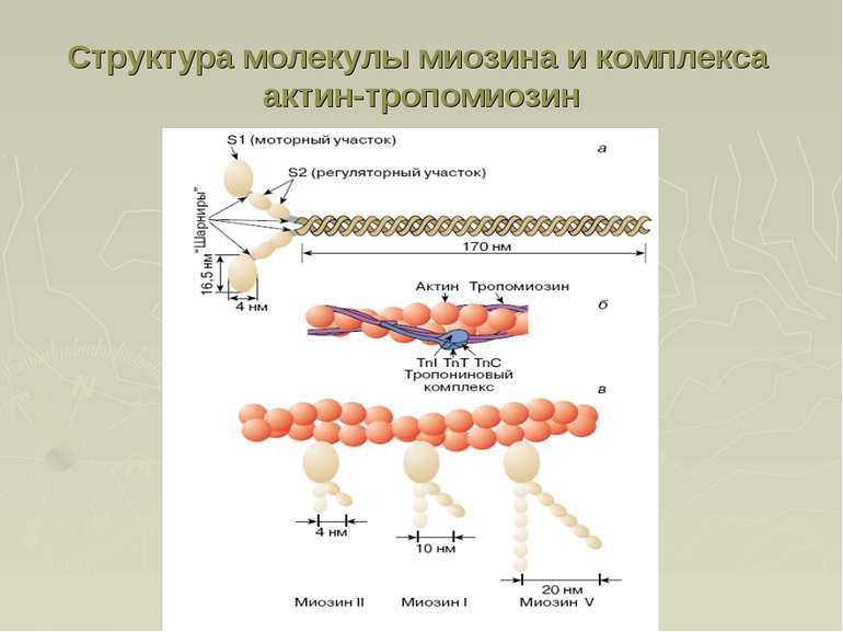 Структура молекулы миозина и комплекса актин-тропомиозин