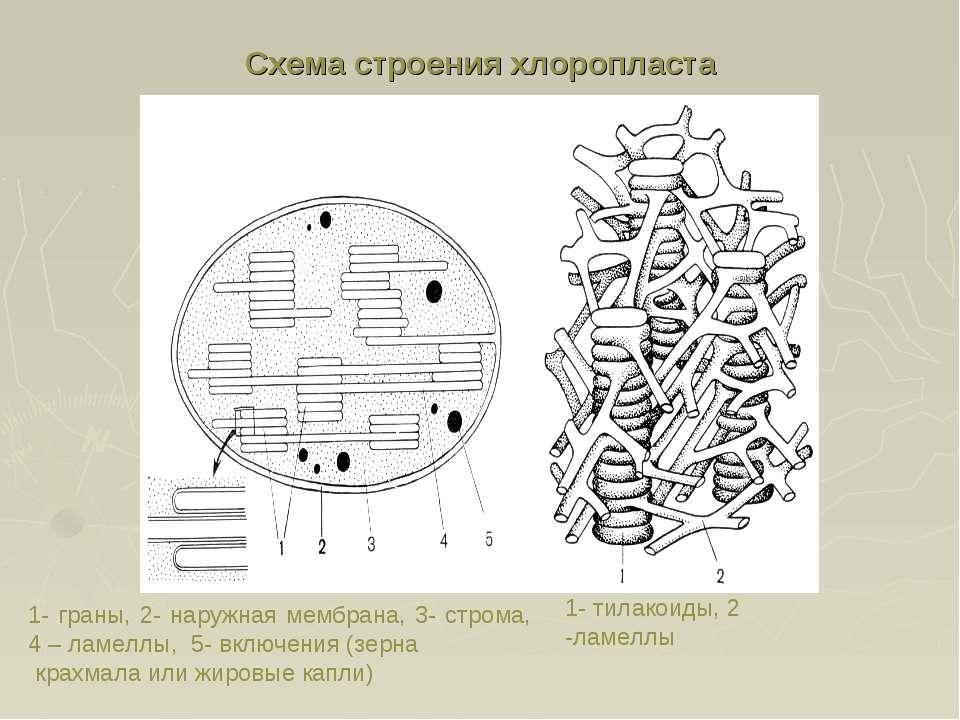 Схема строения хлоропласта 1- граны, 2- наружная мембрана, 3- строма, 4 – лам...