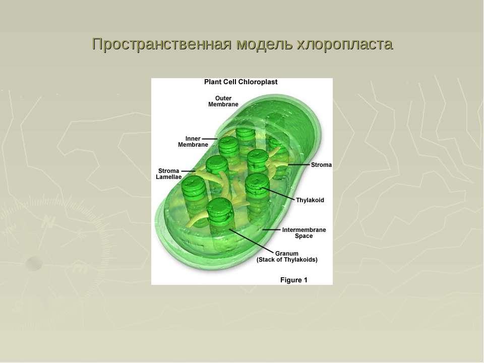 Пространственная модель хлоропласта