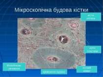 Мікроскопічна будова кістки кістні пластини Міжкліткова речовина кістні кліти...