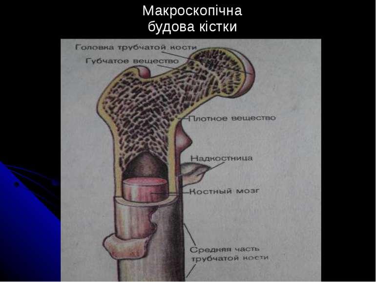 Макроскопічна будова кістки