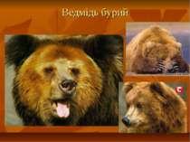 Ведмідь бурий