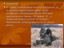Зникаючий В Україні бурий ведмідь водиться вКарпатах, де, за даними співробі...