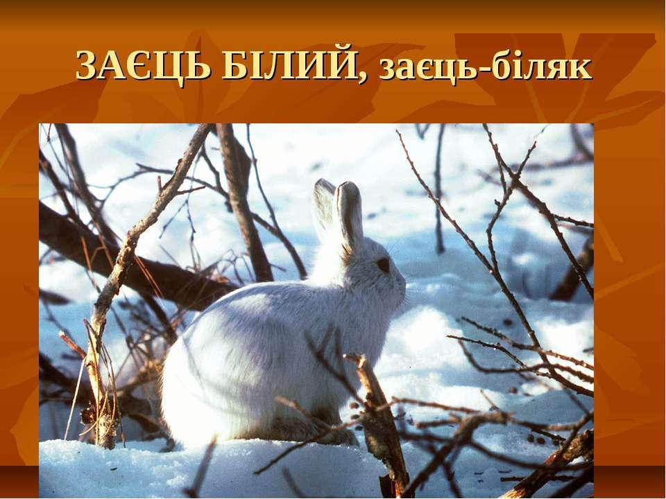 ЗАЄЦЬ БІЛИЙ, заєць-біляк