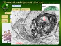 Одномембранні органели: лізосоми Пластиди ТДМУ
