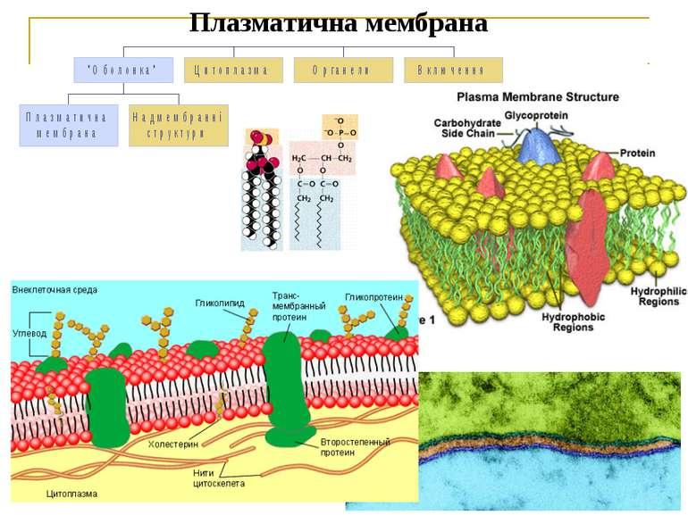 Плазматична мембрана Рідинно-мозаїчну теорію будови мембрани запропоновано у ...