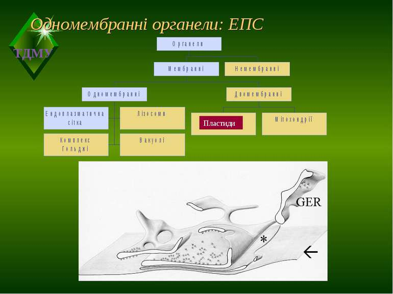 Одномембранні органели: ЕПС Пластиди ТДМУ