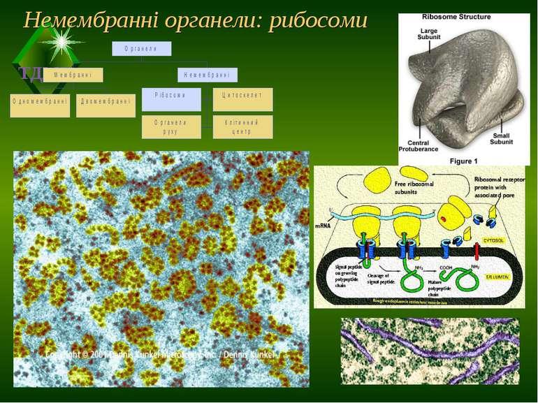 Немембранні органели: рибосоми ТДМУ