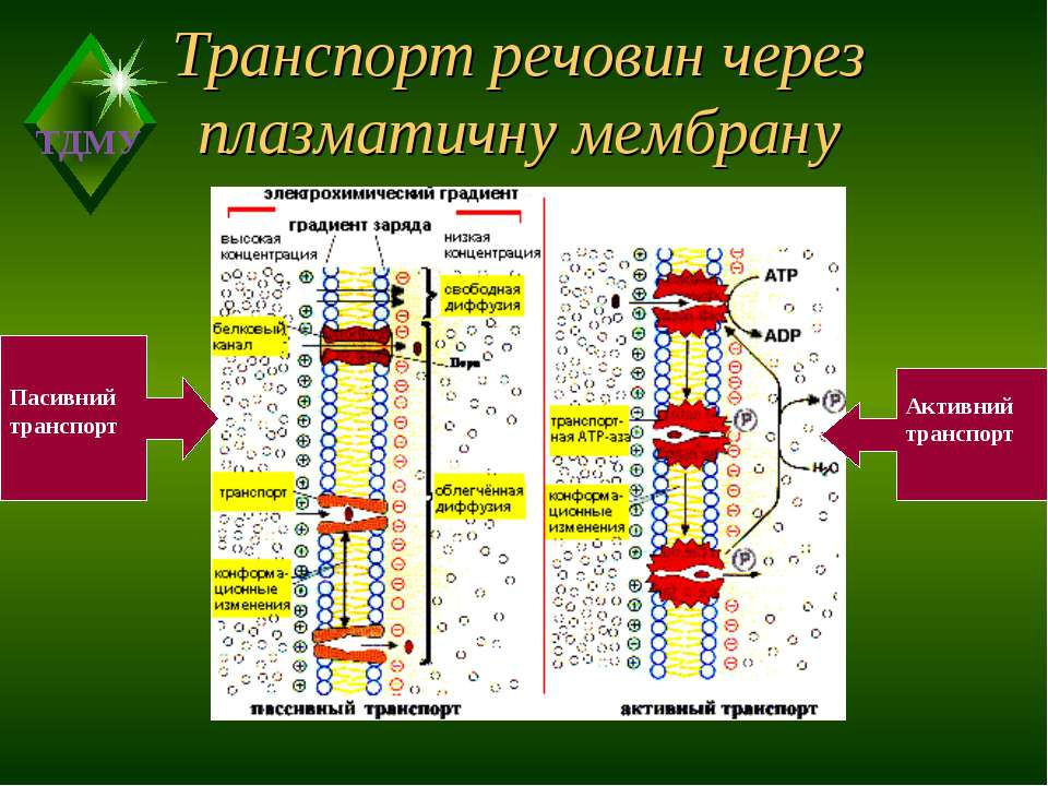 Транспорт речовин через плазматичну мембрану Пасивний транспорт Активний тран...