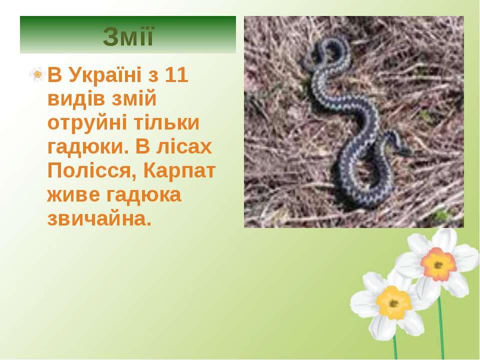 В Україні з 11 видів змій отруйні тільки гадюки. В лісах Полісся, Карпат живе...