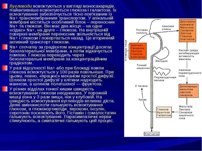 Вуглеводи всмоктуються у вигляді моносахаридів. Найактивніше всмоктуються глю...