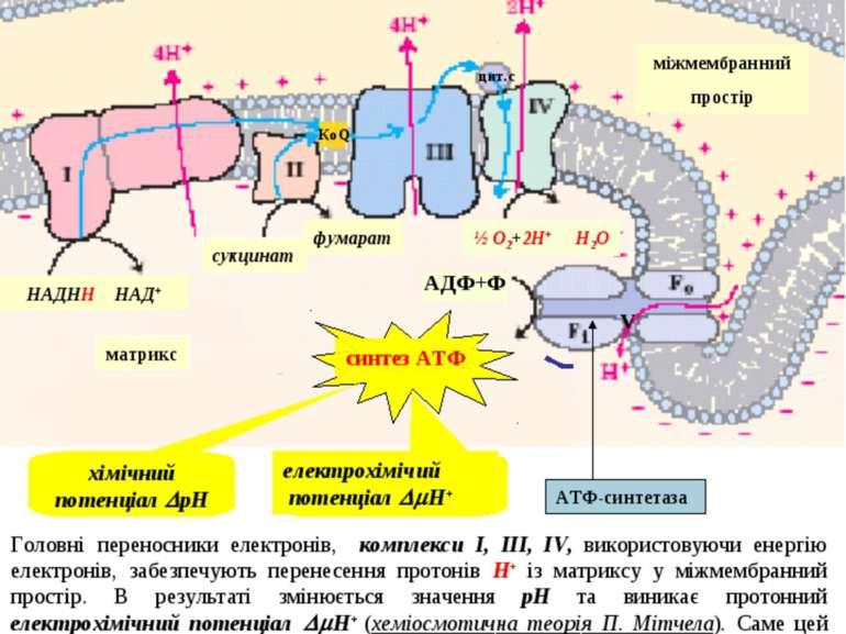 Це фосфорилювання називається окисним, тому що енергія, що необхідна для утво...