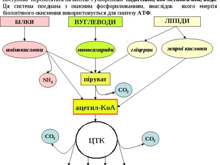 ЛІПІДИ 3 стадія (спільна для всіх видів обміну речовин) - окиснення ацетил~Ко...