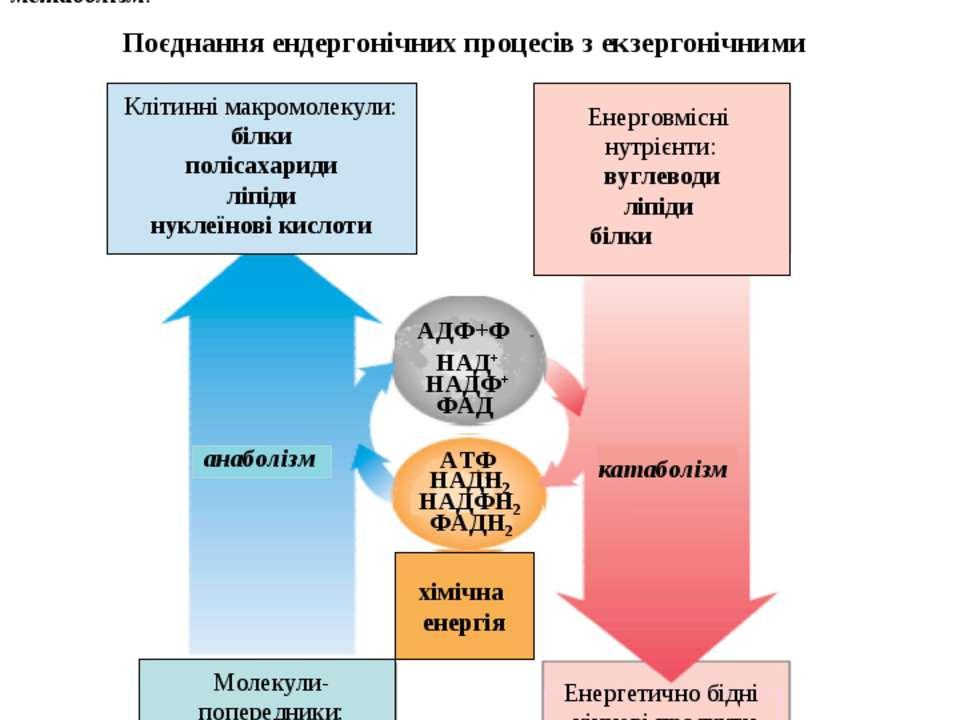 Поєднання ендергонічних процесів з екзергонічними Життєво необхідні процеси –...