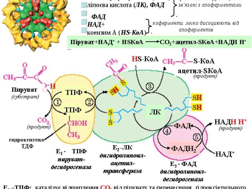 Загальні шляхи катаболізму 1. Окиснювальне декарбоксилювання пірувату Це проц...