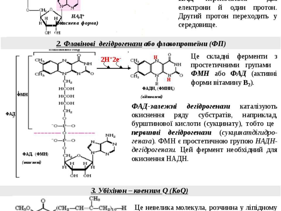 3. Убіхінон – коензим Q (КоQ) 2. Флавінові дегідрогенази або флавопротеїни (Ф...