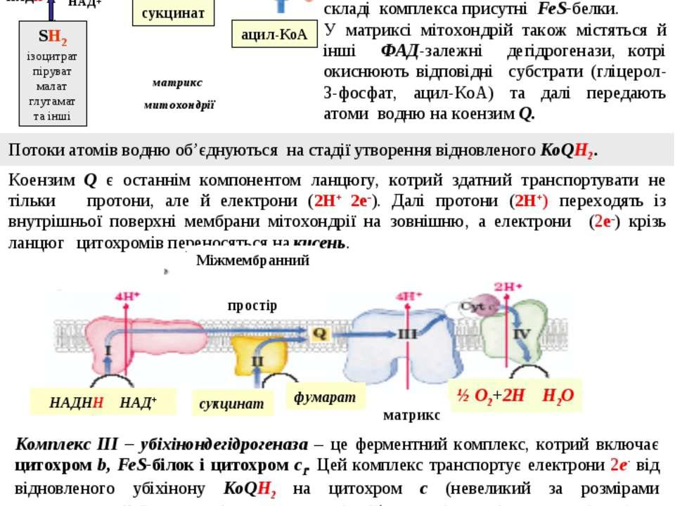 Комплекс I – НАДН-дегідрогеназа – флавопротеїн, що містить ФМН. Цей фермент о...