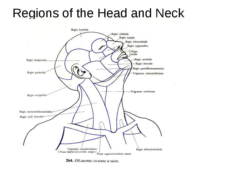 Regions of the Head and Neck