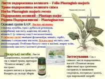 Листя подорожника великого – Folia Plantaginis majoris Трава подорожника вели...