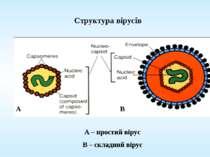 Структура вірусів A – простий вірус B – складний вірус А В