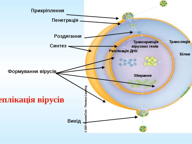Реплікація вірусів