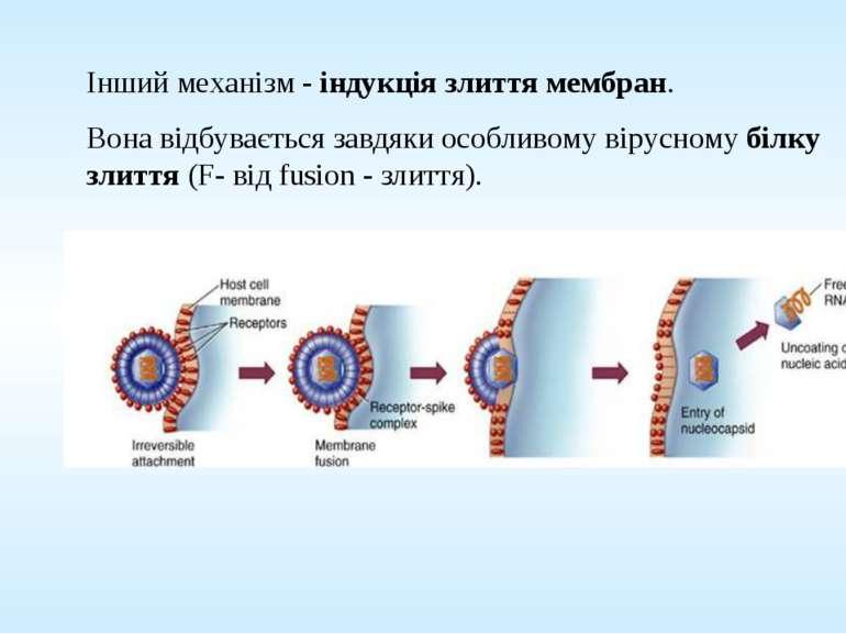 Інший механізм - індукція злиття мембран. Вона відбувається завдяки особливом...