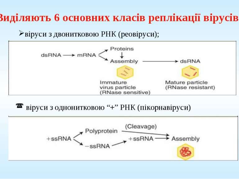 Виділяють 6 основних класів реплікації вірусів: віруси з двонитковою РНК (рео...