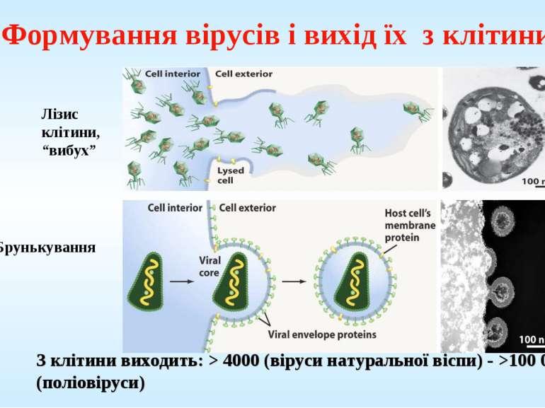 """Формування вірусів і вихід їх з клітини Лізис клітини, """"вибух"""" Брунькування З..."""