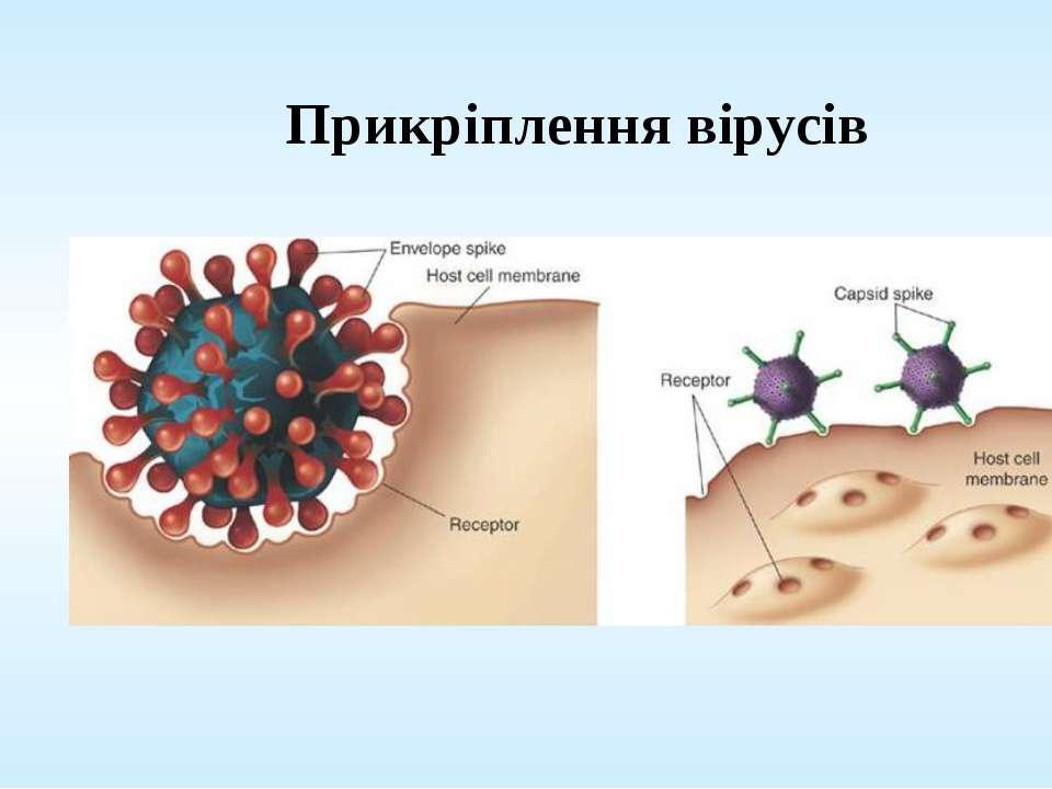 Прикріплення вірусів