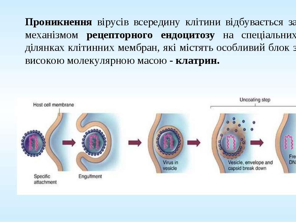 Проникнення вірусів всередину клітини відбувається за механізмом рецепторного...