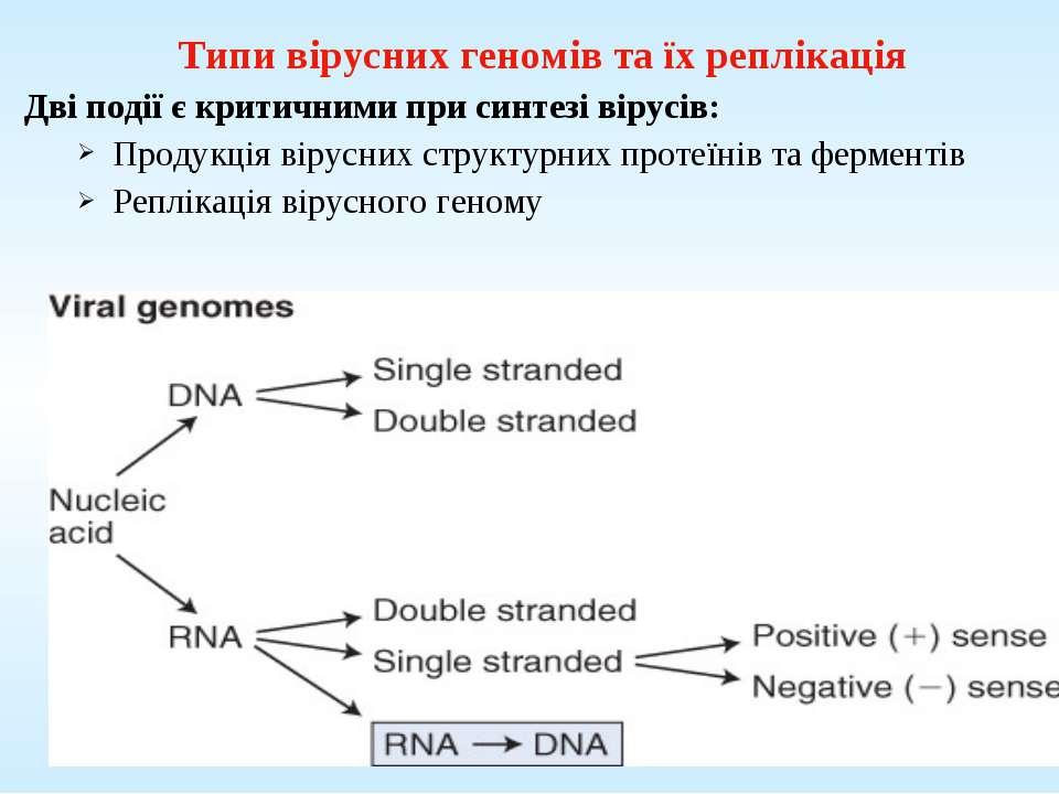 Типи вірусних геномів та їх реплікація Дві події є критичними при синтезі вір...