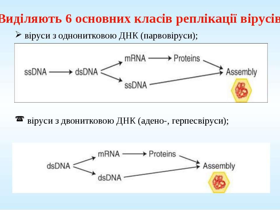 Виділяють 6 основних класів реплікації вірусів: віруси з однонитковою ДНК (па...