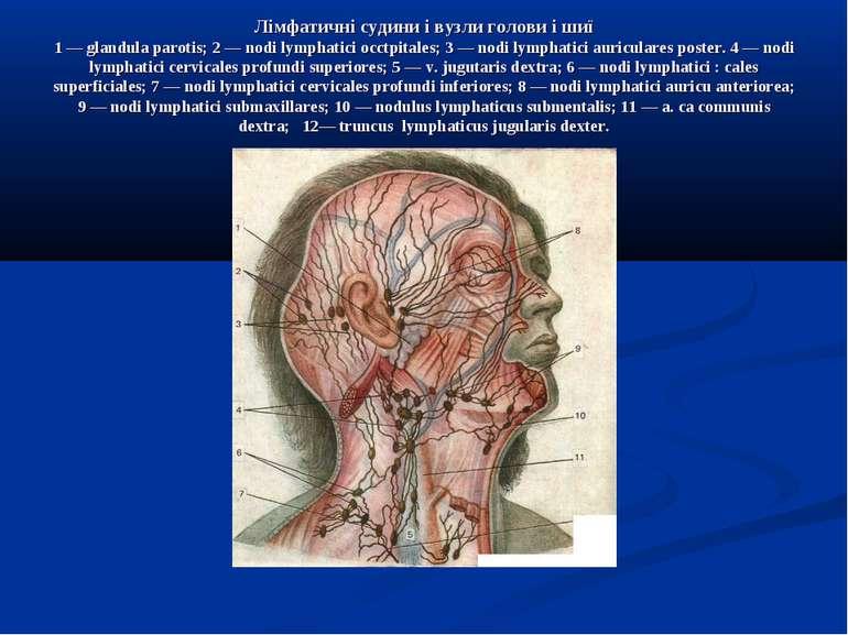 Лімфатичні судини і вузли голови і шиї 1 — glandula parotis; 2 — nodi lymphat...