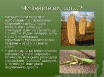 Чи знаєте ви, що…? Хатки-горбики термітів є найбільшими зі створюваних тварин...