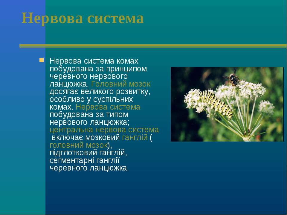 Нервова система Нервова система комах побудована за принципом черевного нерво...
