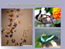 Ряд лускокрилі (метелики)