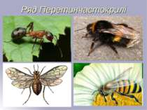 Ряд Перетинчастокрилі