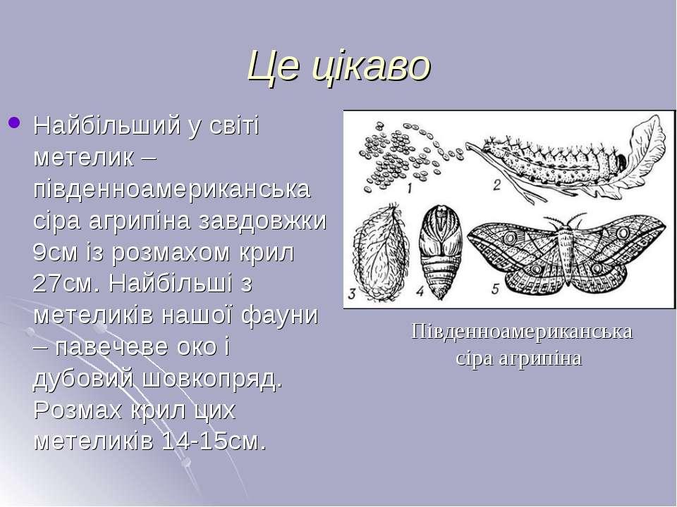 Це цікаво Найбільший у світі метелик – південноамериканська сіра агрипіна зав...