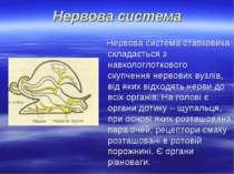 Нервова система Нервова система ставковика складається з навкологлоткового ск...