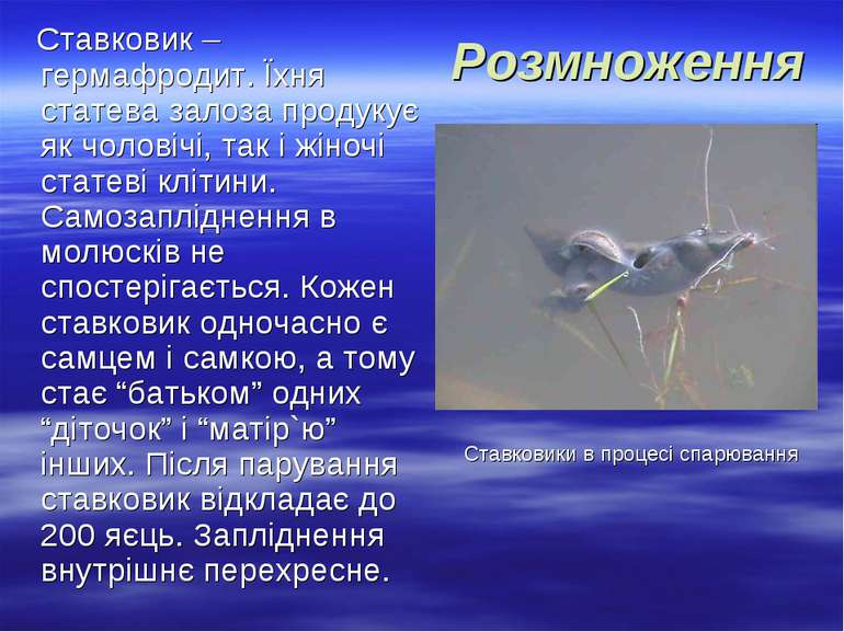 Розмноження Ставковик – гермафродит. Їхня статева залоза продукує як чоловічі...