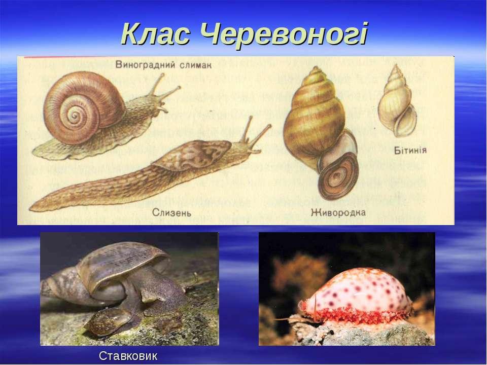 Клас Черевоногі Ставковик