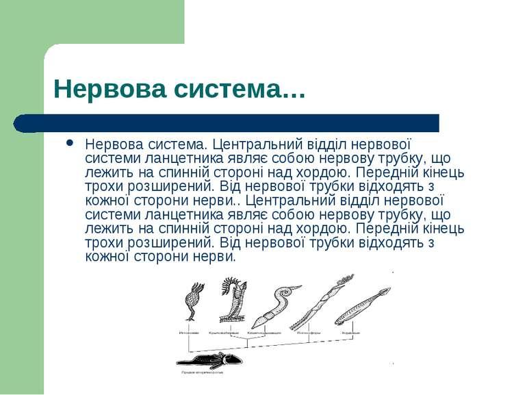 Нервова система… Нервова система. Центральний відділ нервової системи ланцетн...