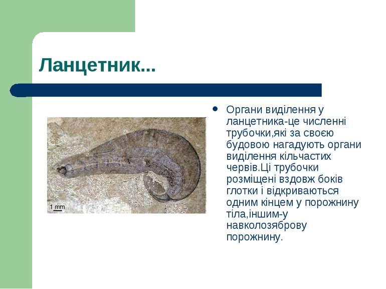 Ланцетник... Органи виділення у ланцетника-це численні трубочки,які за своєю ...
