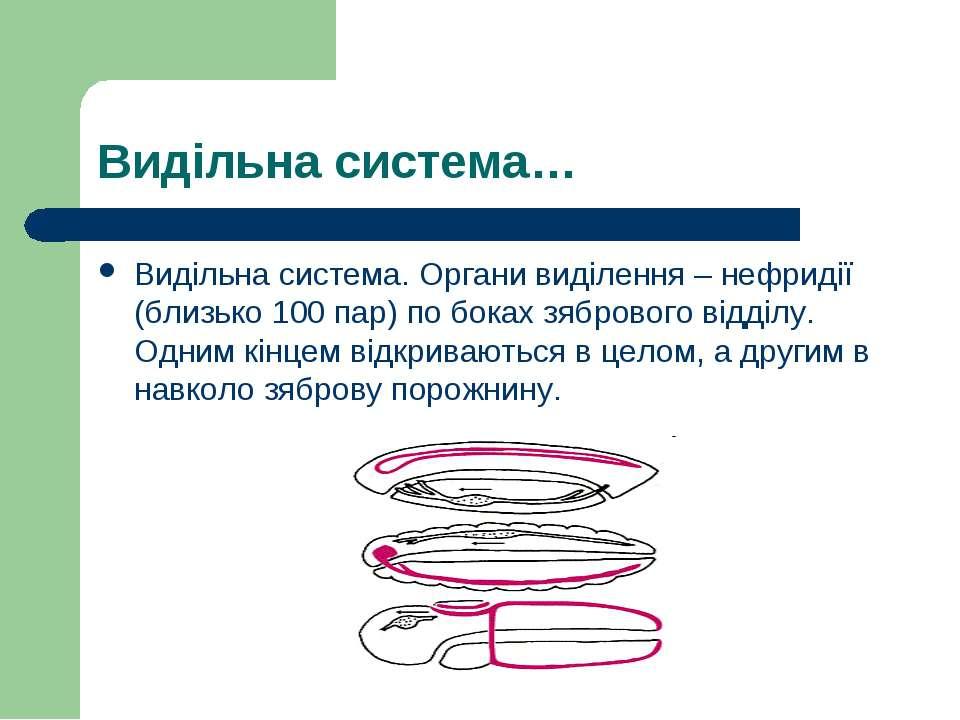 Видільна система… Видільна система. Органи виділення – нефридії (близько 100 ...
