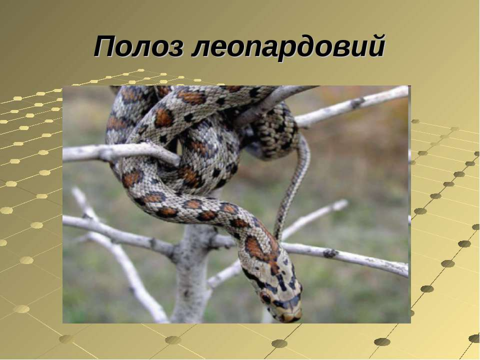 Полоз леопардовий