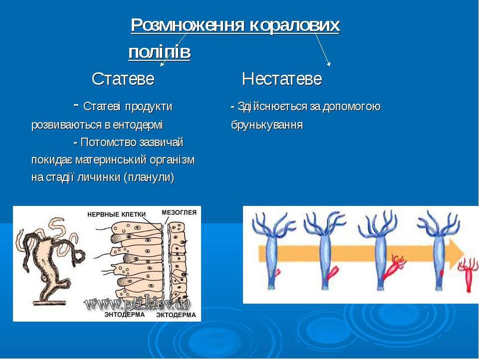 Розмноження коралових поліпів Статеве Нестатеве - Статеві продукти - Здійснює...