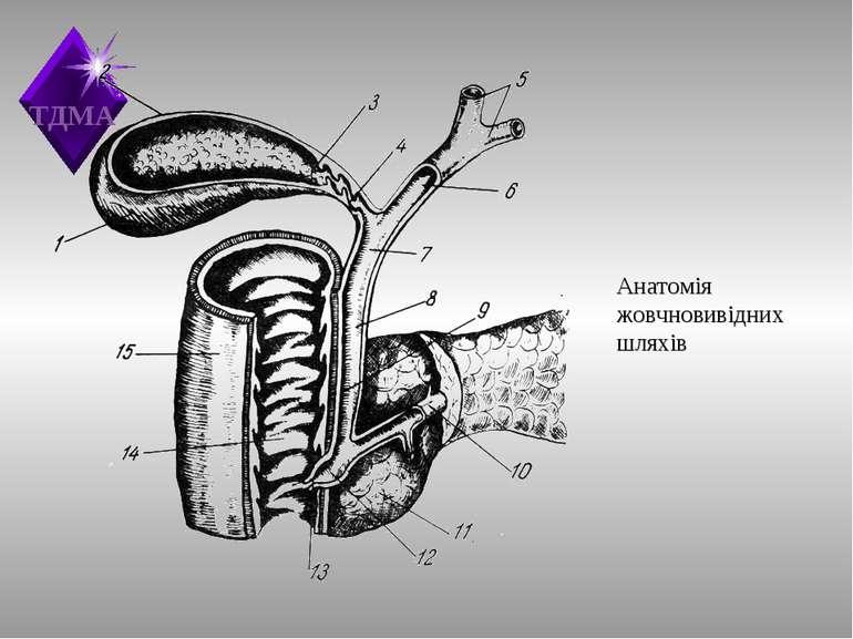 Анатомія жовчновивідних шляхів ТДМА